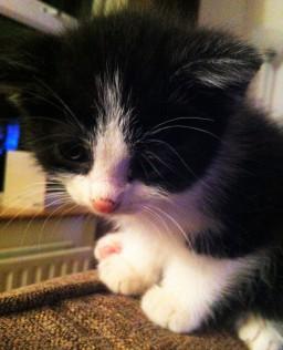 Gomez Kitten