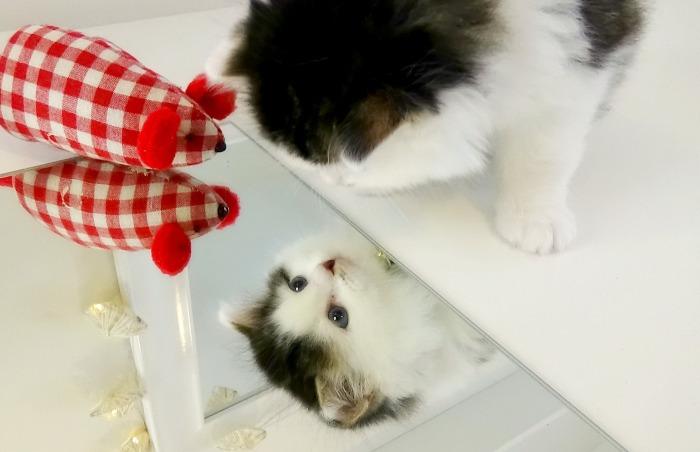Maine Coon Kitten 3