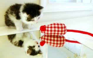 Maine Coon Kitten 4