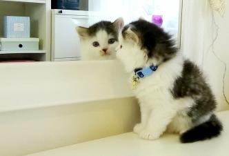 Maine Coon Kitten 5